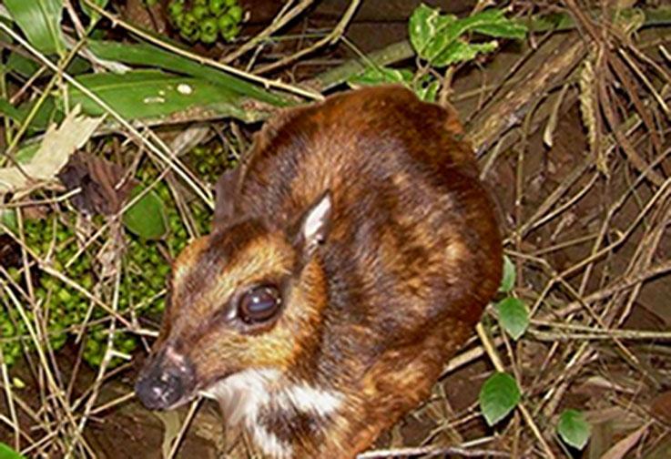 Balabac Mouse-deer Taxon Profile